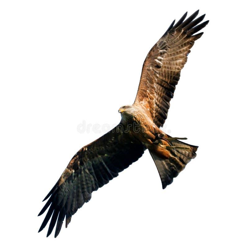Eagle en vol photos libres de droits
