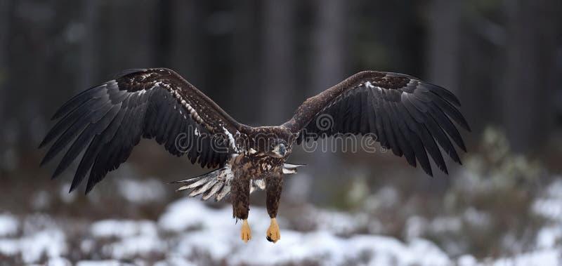 Eagle en vol aigle Blanc-suivi en vol image libre de droits