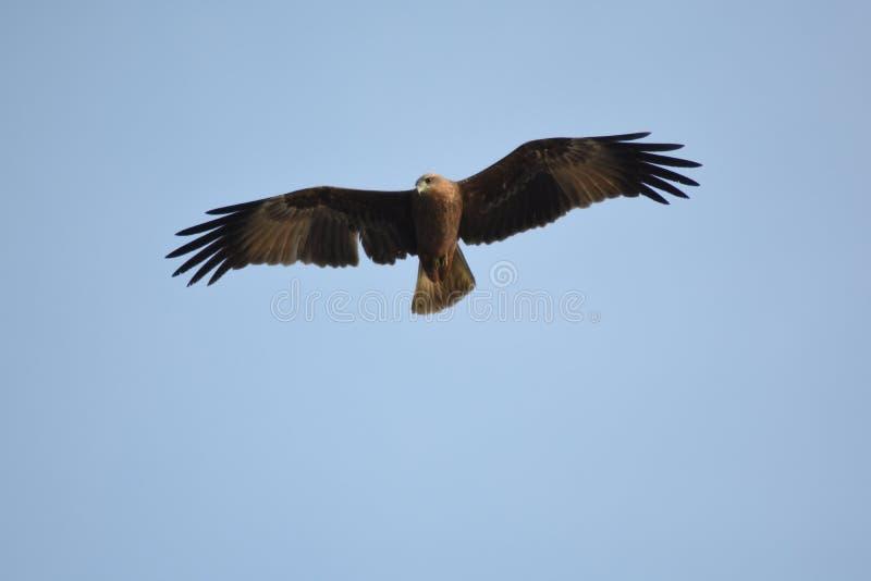 Eagle en vuelo foto de archivo libre de regalías
