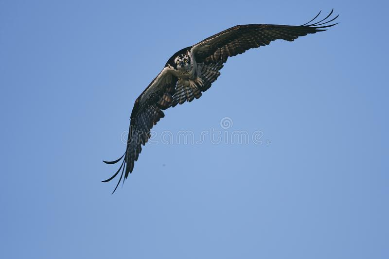 Eagle extending its wings and soaring in the blue sky royalty free stock image