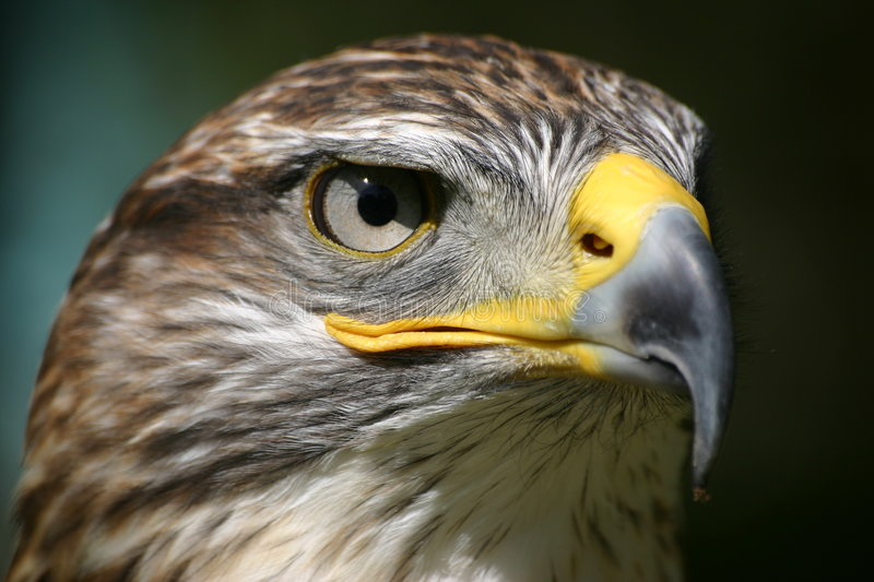 Eagle eye. Eagle looking in the eye