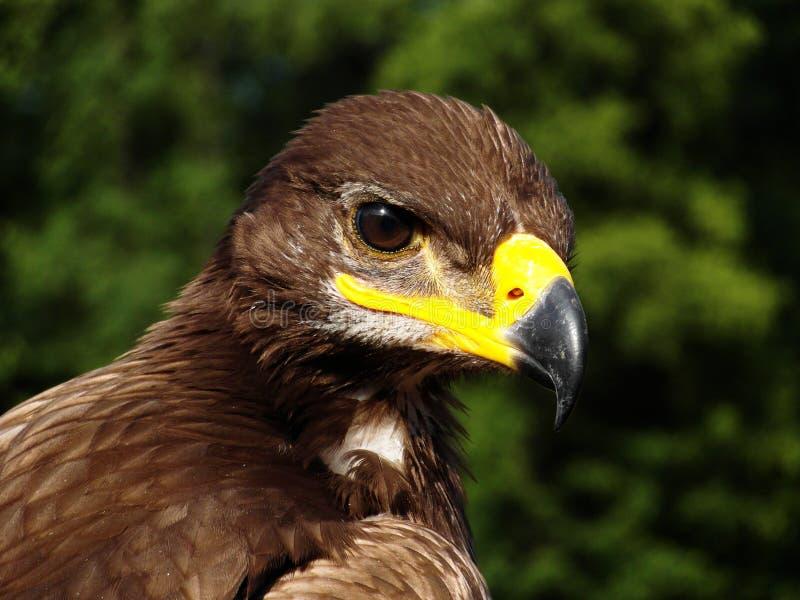 Eagle Eye imagem de stock