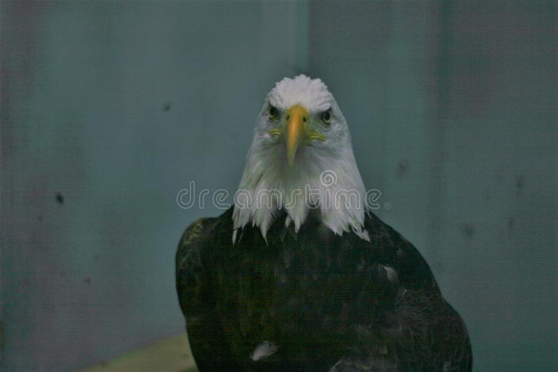 Eagle Eye fotografía de archivo