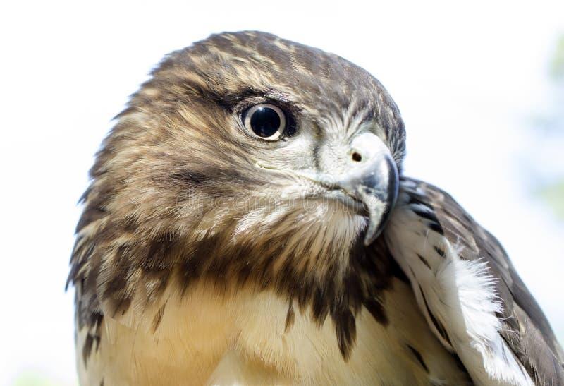 Eagle Eye, Rood De steel verwijderd van Haviksprofiel stock afbeeldingen