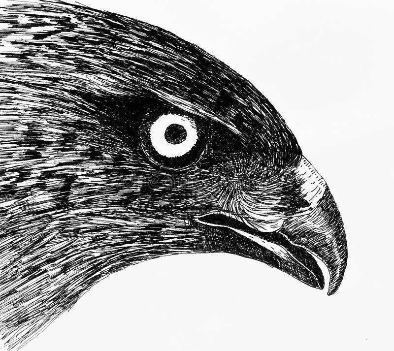Eagle eyes stock photos