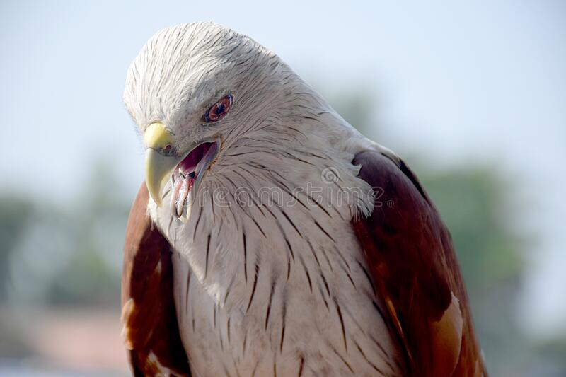 Eagle eyes sharp face to face stock images