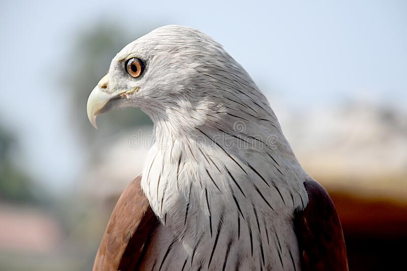 Eagle eyes sharp face to face royalty free stock images
