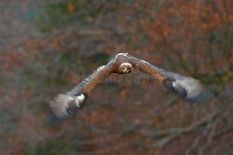 Eagle in face flight attack. Flying dark brawn bird of prey Steppe Eagle, Aquila nipalensis, with large wingspan. Wildlife scene f royalty free stock image