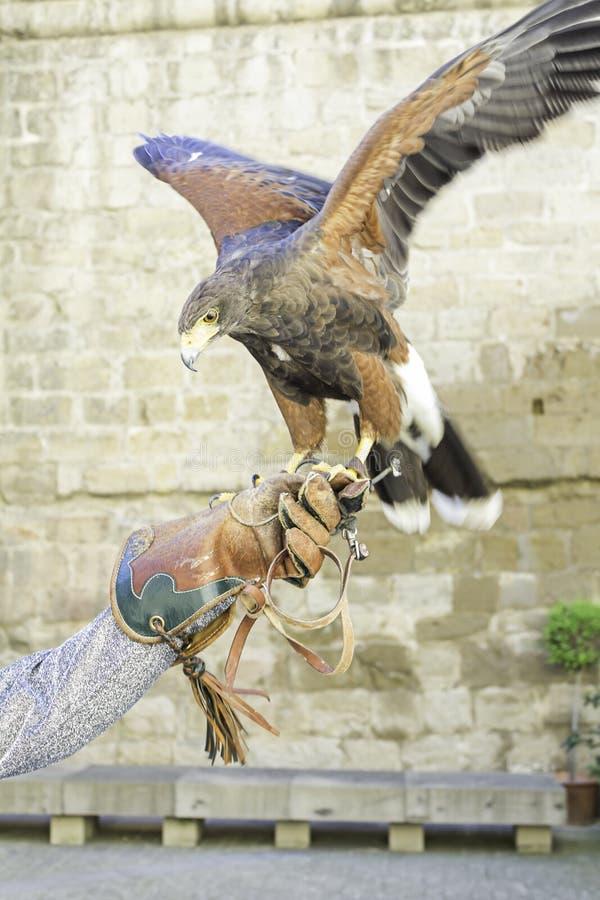 Eagle Falconry images libres de droits