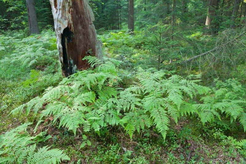 Eagle Ferns och gammal prydlig trädstubbe i sommartidskog arkivbild