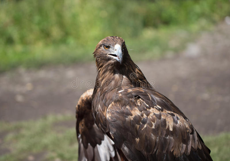 Eagle Filia zdjęcia royalty free