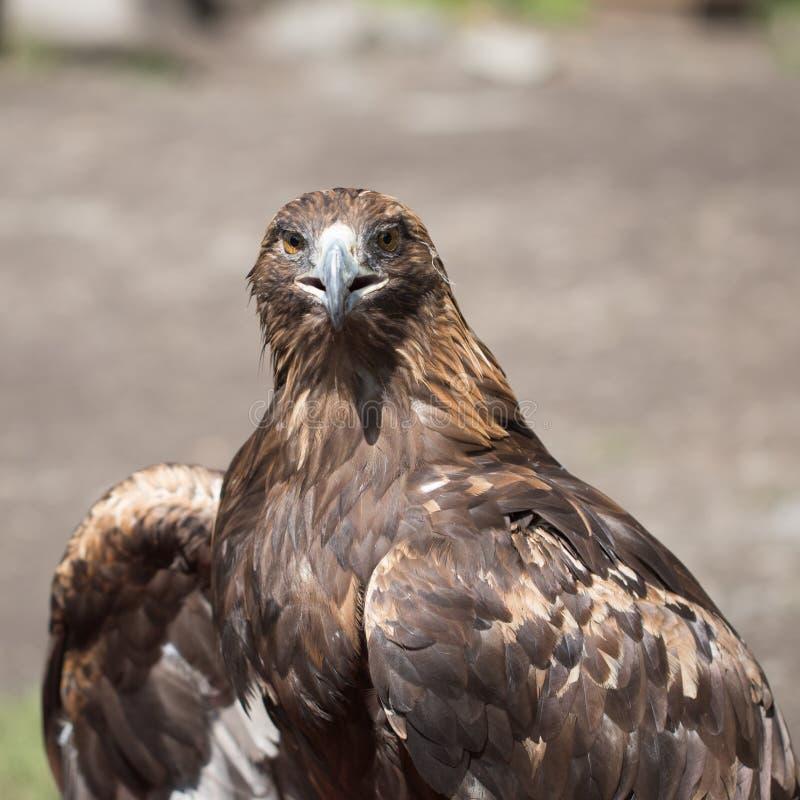 Eagle Filia zdjęcie royalty free