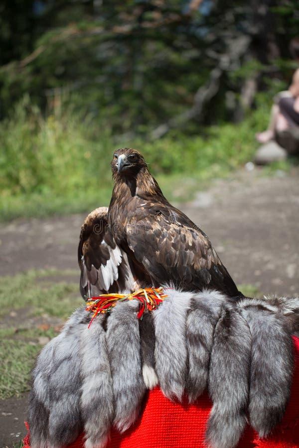 Eagle Filia obraz royalty free