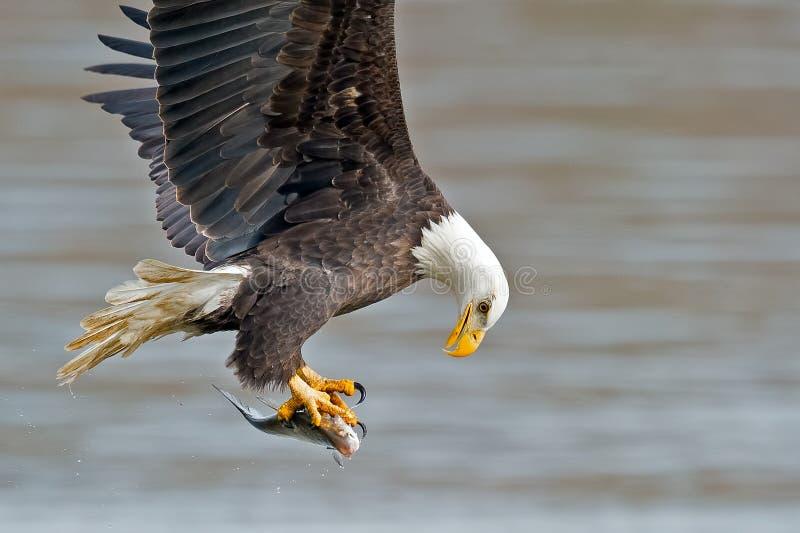Eagle Fish Grab calvo americano imagem de stock