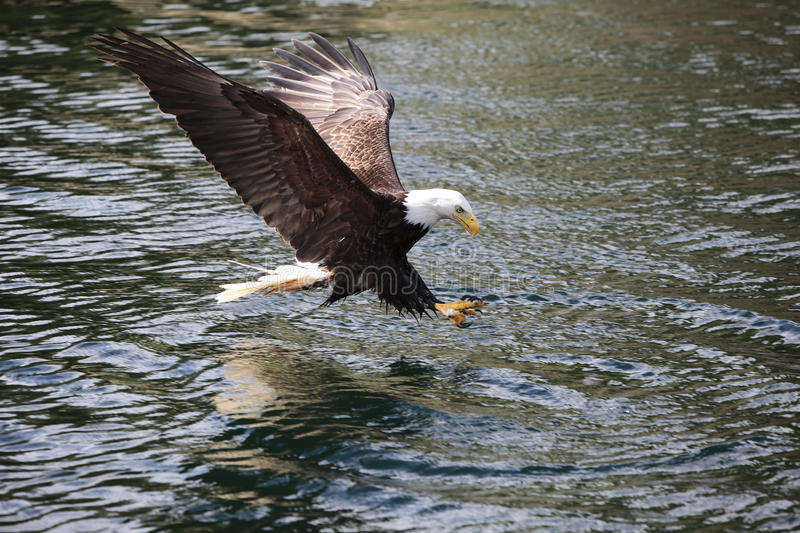 Eagle Fishing. Bald Eagle with wings spread fishing