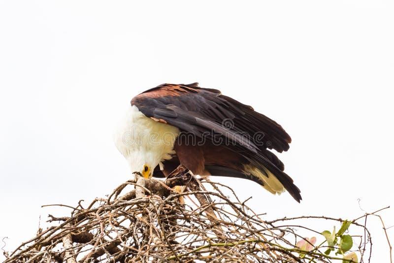 Eagle fiskaren på redet som det matar på rov Sjö Baringo, Kenya royaltyfri fotografi