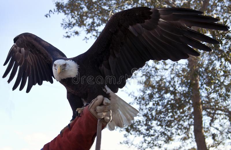 The Eagle Flies in Lake Placid, Florida. The Eagle Flies High in Lake Placid, Florida royalty free stock photos