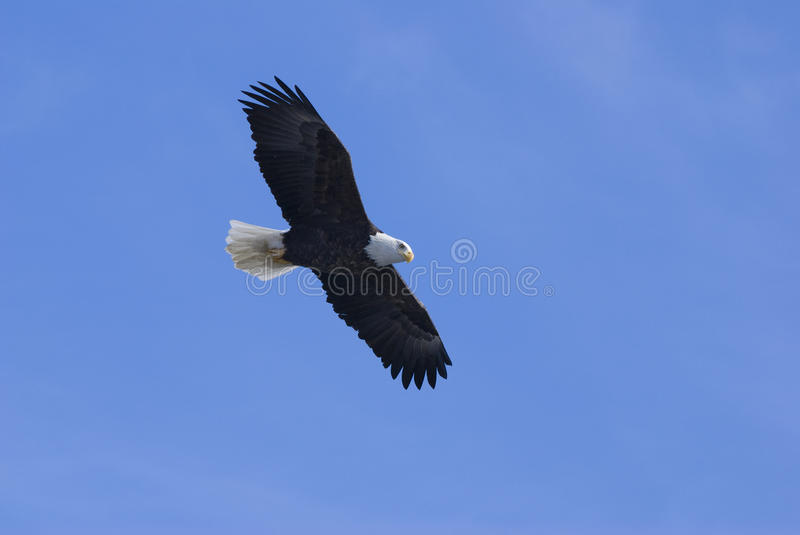 Download Eagle in flight 4 stock image. Image of eagle, majestic - 20321149
