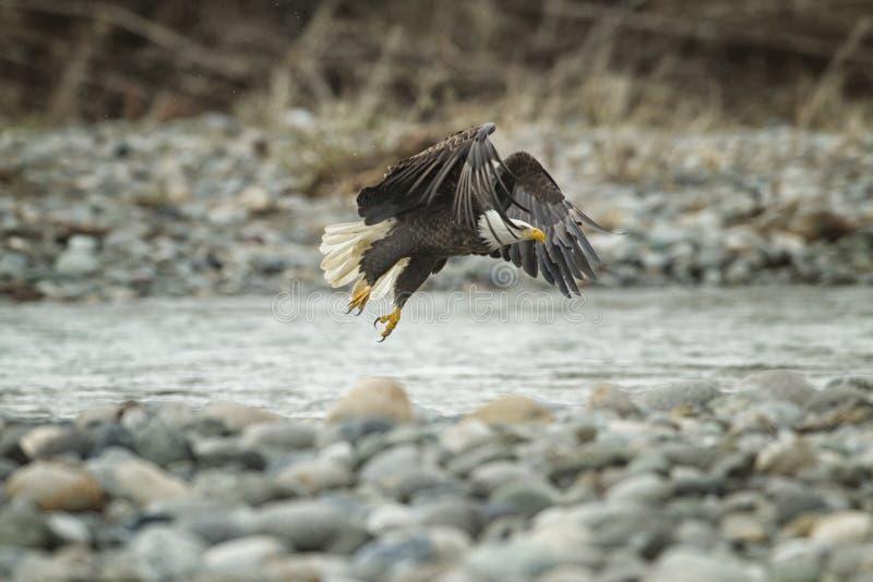 Eagle In Flight calvo in metà di aria fotografia stock libera da diritti