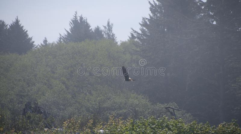 Download Eagle In Flight With Forest Background Stock Photo - Image: 99916204
