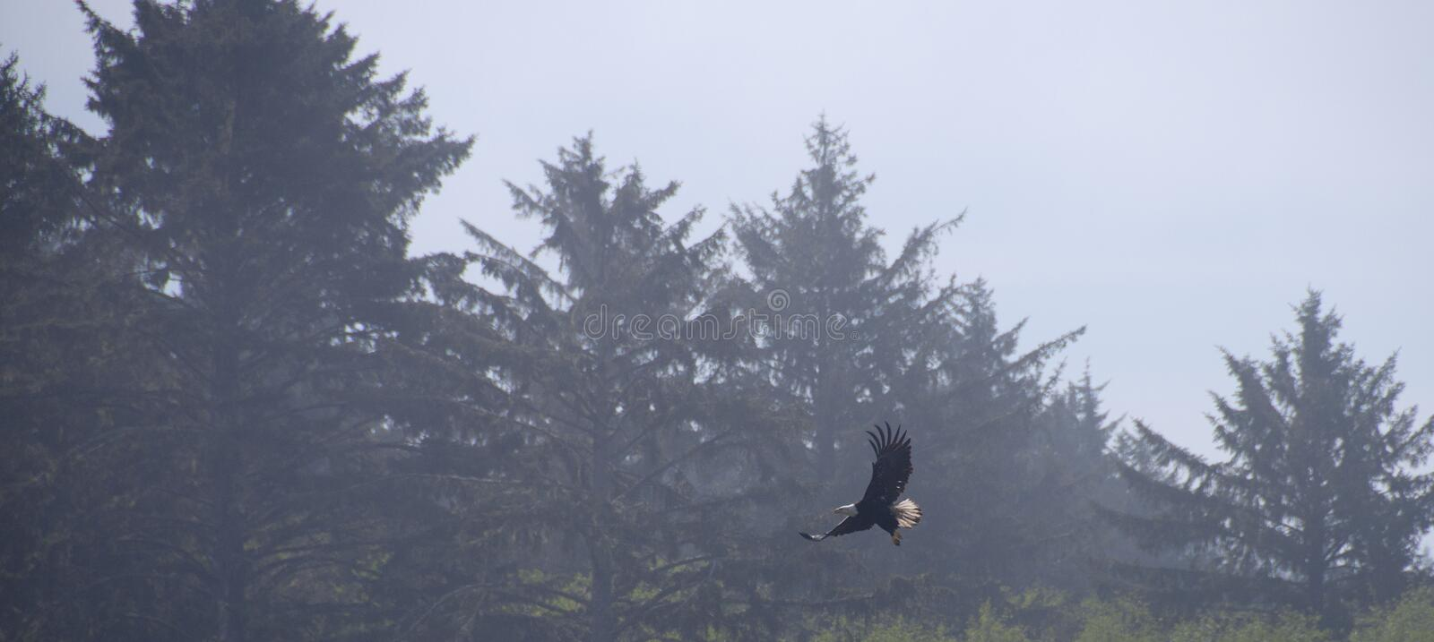 Download Eagle In Flight With Forest Background Stock Image - Image: 99916345