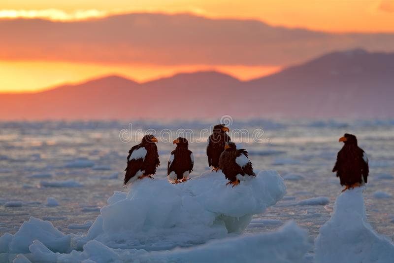 Eagle floating in sea on ice. Beautiful Steller`s sea eagle, Haliaeetus pelagicus, flying bird of prey, with sea water, Hokkaido,. Japan royalty free stock photos