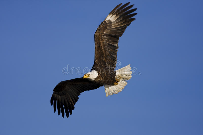 Eagle Fly By. Bald Eagle flying by looking for a place to land