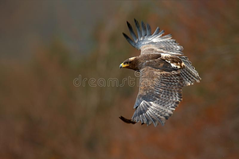 Eagle in fly. Flying dark brawn bird of prey Steppe Eagle, Aquila nipalensis, with large wingspan. Wildlife scene from nature. Act stock photo