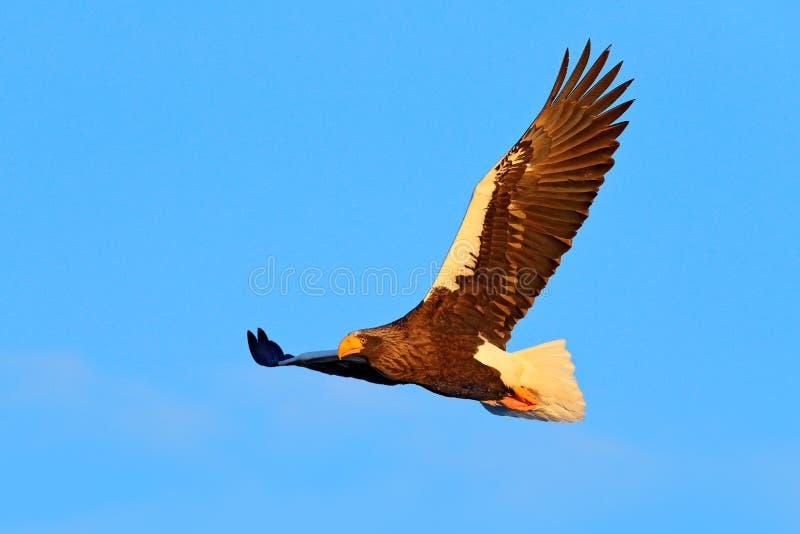 Eagle fly, open wings. Eagle flight durring winter. Wildlife scene. Bird on the blue sky. Steller`s sea eagle, Haliaeetus pelagic. Eagle fly, open wings. Eagle stock photo