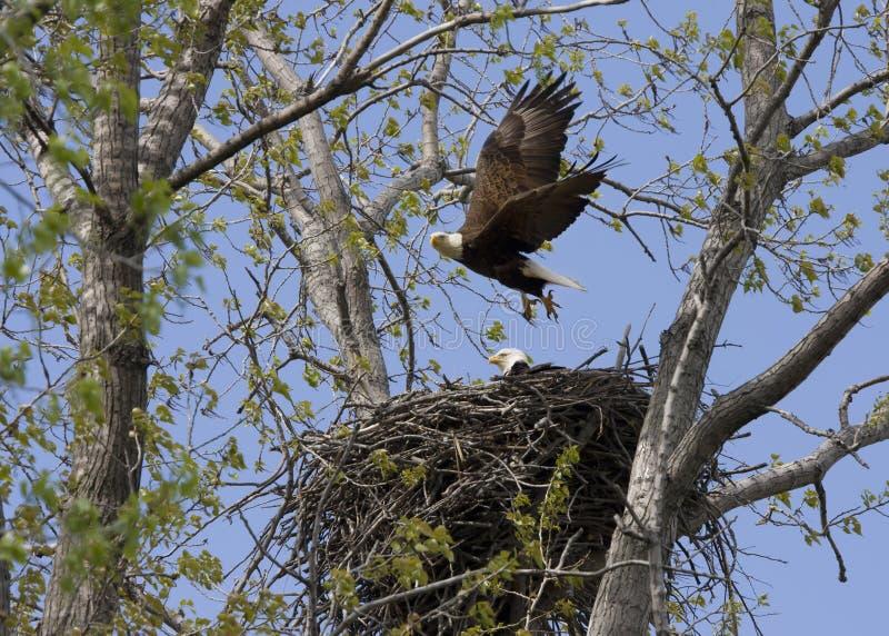 Eagle flyg från rede med kompisen royaltyfri fotografi