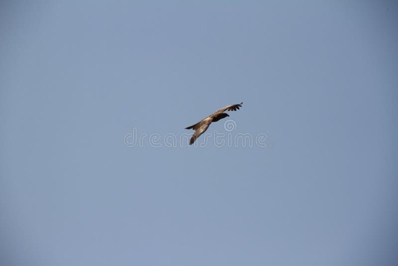 Eagle flyg i den blåa himlen royaltyfri bild
