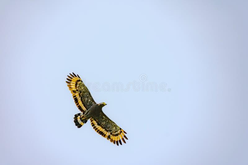 Eagle flyg på blå ky royaltyfri bild