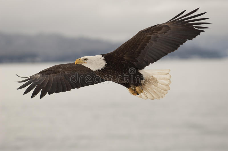 Eagle Flying. Over water with mountains in background