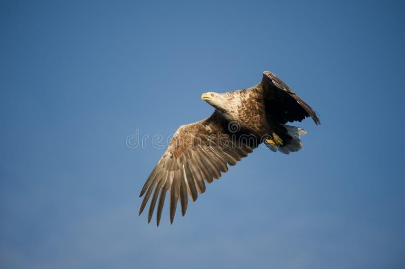 Download Eagle Flying stock image. Image of avian, king, european - 25523289