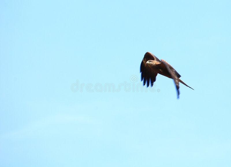 Eagle flying stock images