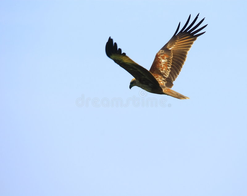 Download Eagle flying stock image. Image of inflight, green, motion - 3516907