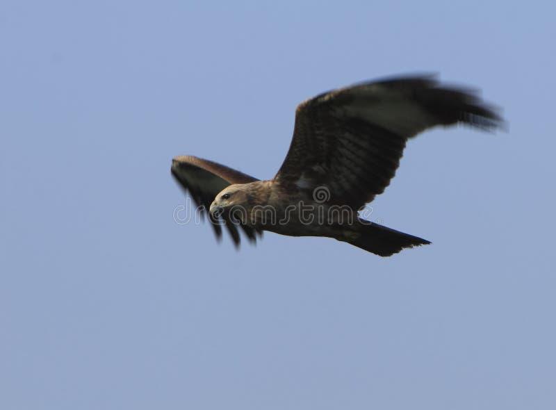 Eagle flying stock photos