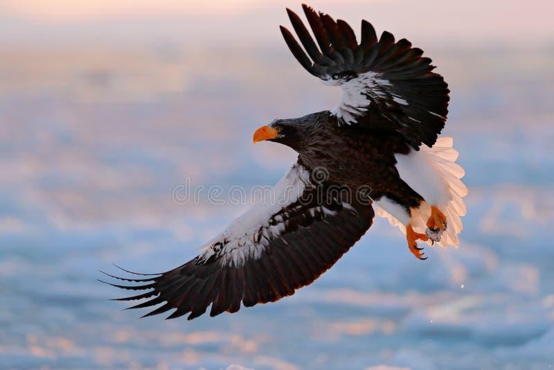 Eagle flying above the sea. Beautiful Steller`s sea eagle, Haliaeetus pelagicus, flying bird of prey, with blue sea water, Hokkaid. O, Japan stock image