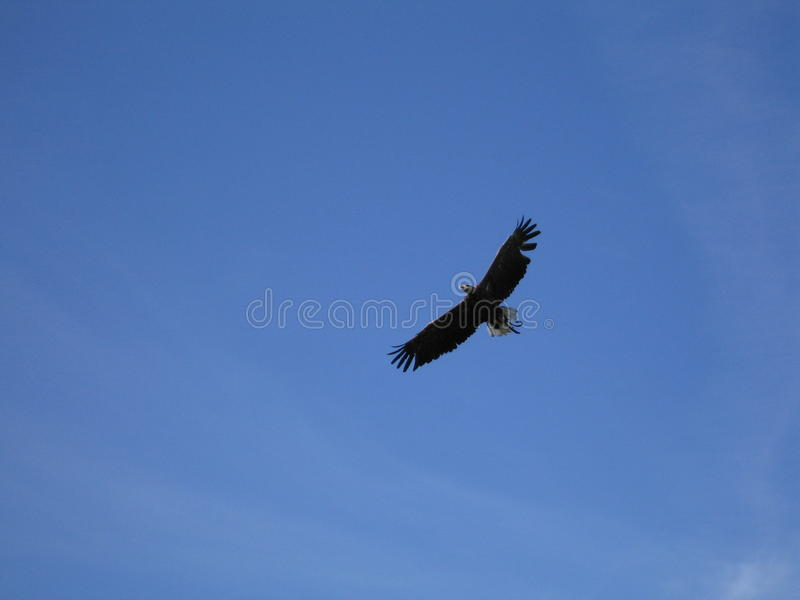Eagle flying on a blue sky stock photography