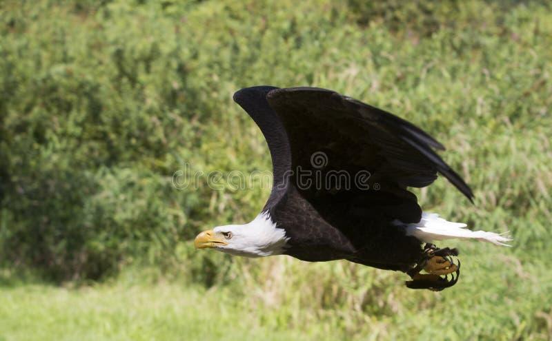 Eagle Flying calvo. imagem de stock