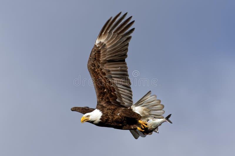 Eagle Flying calvo com um peixe fotografia de stock