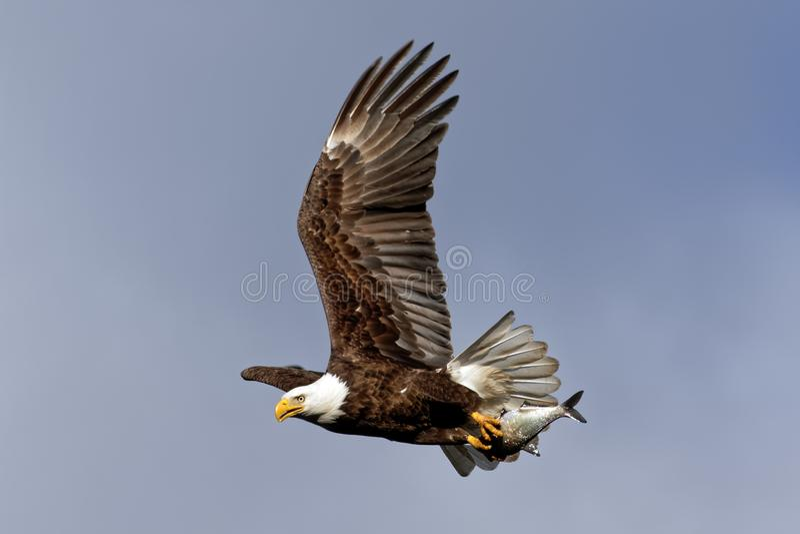 Eagle Flying calvo con un pesce fotografia stock