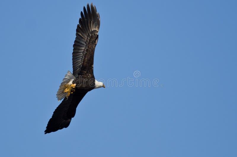 Eagle Flying calvo em um céu azul que leva um meio esquilo comido fotografia de stock royalty free