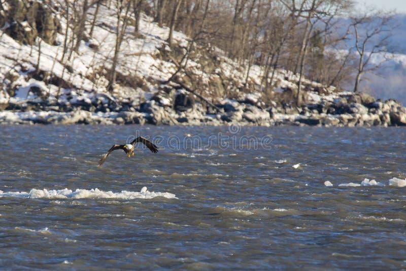 Eagle Flying calvo fuori dall'iceberg su Hudson River fotografia stock libera da diritti