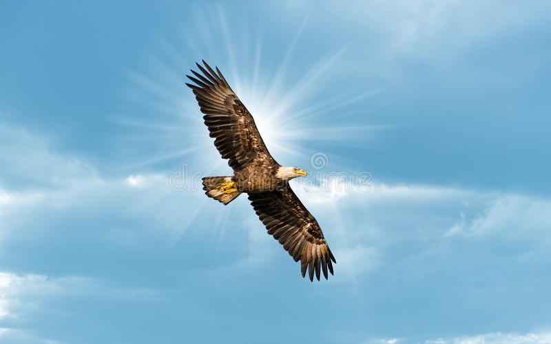 Eagle Flying calvo no céu azul com Sun sobre a asa imagem de stock