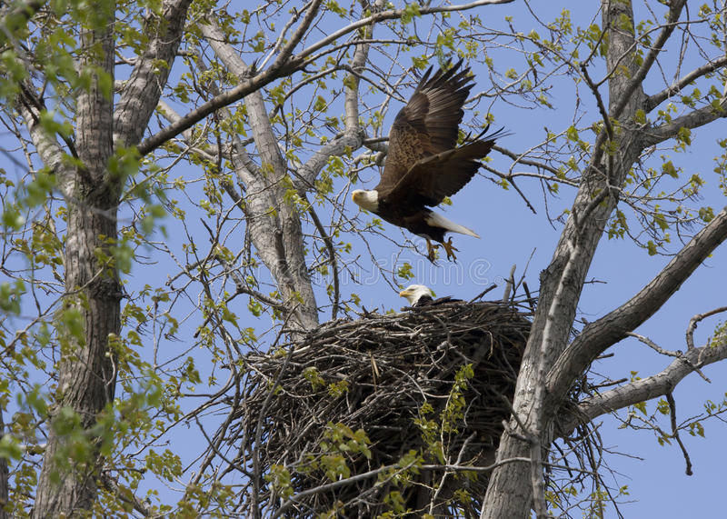 Eagle flying from Nest with Mate. Eagle leaving mate as it flies from the nest royalty free stock photography