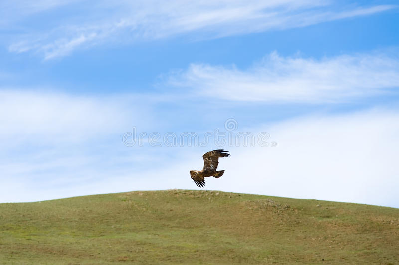Eagle flying over steppe royalty free stock photography