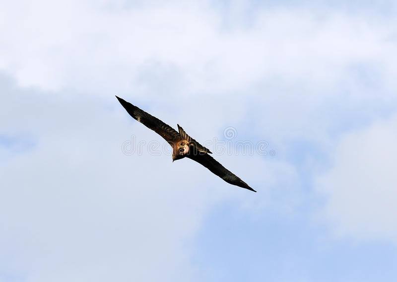A eagle. Flying in the sky stock image