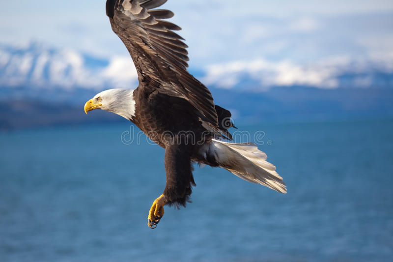 Bald Eagle Flying Wings Spread stock images