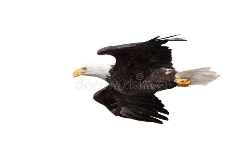Eagle Glides su fondo bianco immagini stock